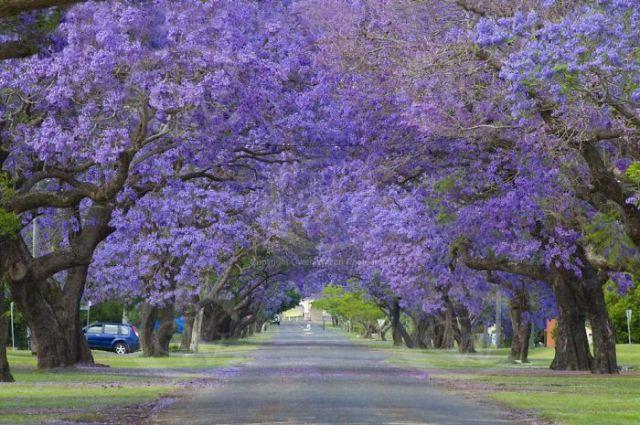 Gales del Sur, Australia, avenida de jacarandaes