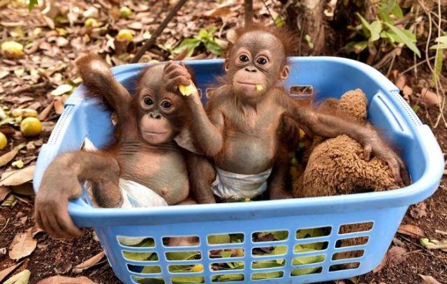 baby_orangutans_01