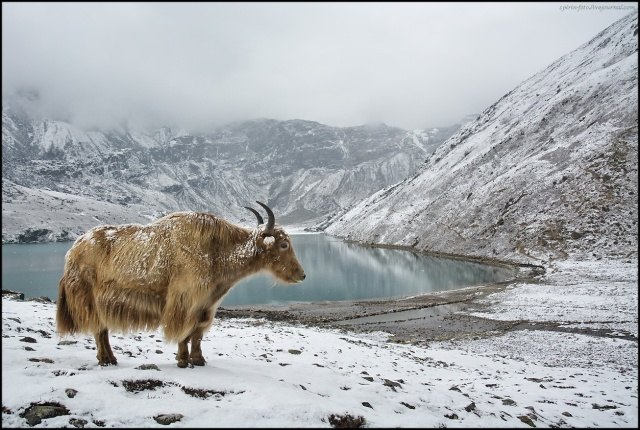 cabras o yak