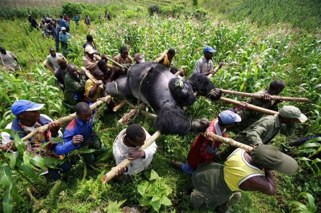 Bukima, Parque Nacional de Virunga, Congo Oriental. Rangers con la ayuda de voluntarios locales tienen un cuerpo de gorilas de montaña matados ilegalmente 24 de julio, 2007. El gorila fue muerto por miembros de un sindicato ilegal de carbón. Foto por Brent Stirton, GETTY IMAGES